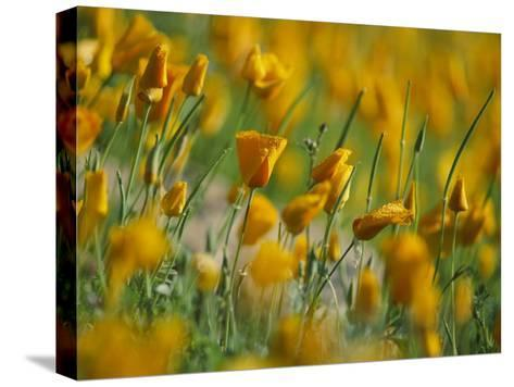 Mexican Poppies-Annie Griffiths-Stretched Canvas Print
