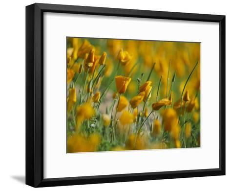 Mexican Poppies-Annie Griffiths-Framed Art Print