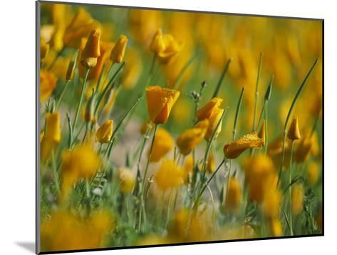 Mexican Poppies-Annie Griffiths-Mounted Photographic Print