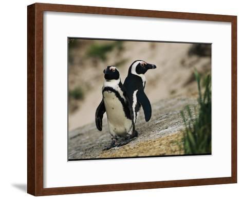 Jackass Penguins Standing Together on a Rock--Framed Art Print