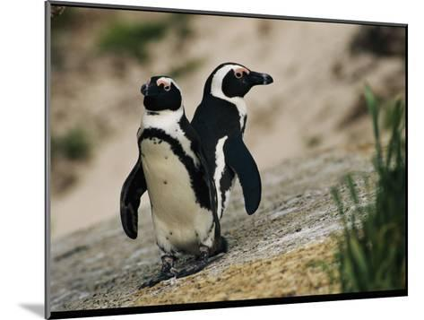 Jackass Penguins Standing Together on a Rock--Mounted Photographic Print