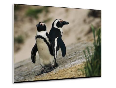 Jackass Penguins Standing Together on a Rock--Metal Print