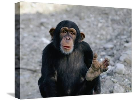 Chimpanzee Showing His Foot-Kenneth Garrett-Stretched Canvas Print