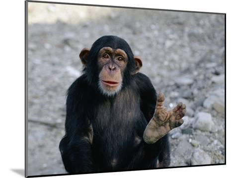 Chimpanzee Showing His Foot-Kenneth Garrett-Mounted Photographic Print