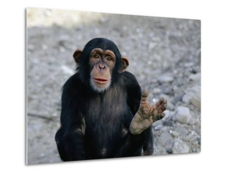Chimpanzee Showing His Foot-Kenneth Garrett-Metal Print