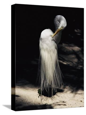 A Majestic Great Egret Cranes its Neck to Pluck at its Feathers-Stephen St^ John-Stretched Canvas Print