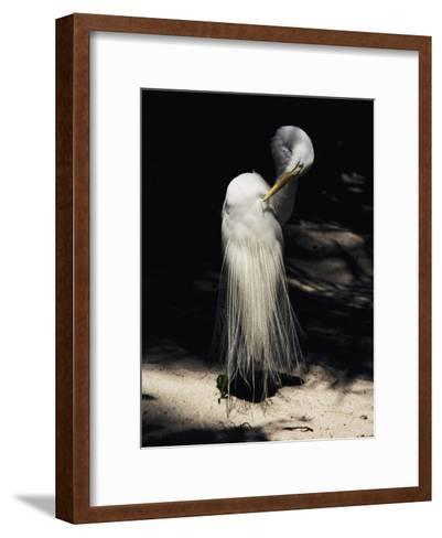 A Majestic Great Egret Cranes its Neck to Pluck at its Feathers-Stephen St^ John-Framed Art Print
