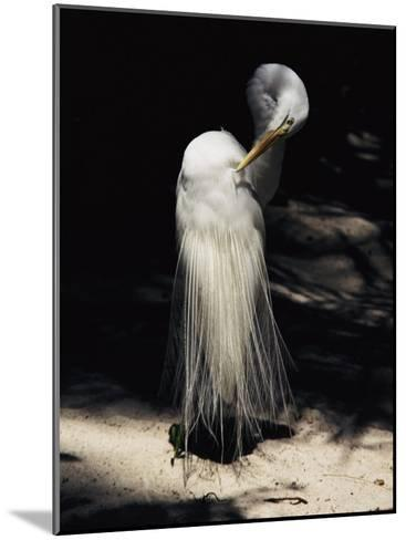 A Majestic Great Egret Cranes its Neck to Pluck at its Feathers-Stephen St^ John-Mounted Photographic Print