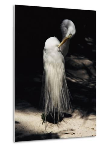 A Majestic Great Egret Cranes its Neck to Pluck at its Feathers-Stephen St^ John-Metal Print