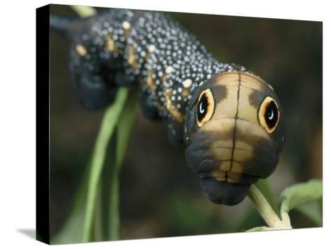 Hawk Moth Caterpillar Inflating its Thorax as a Defense Mechanism-Darlyne A^ Murawski-Stretched Canvas Print