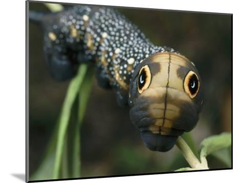 Hawk Moth Caterpillar Inflating its Thorax as a Defense Mechanism-Darlyne A^ Murawski-Mounted Photographic Print