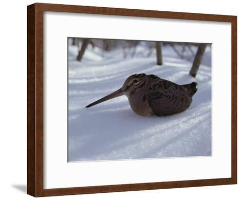 A Woodcock Sits in the Snow--Framed Art Print