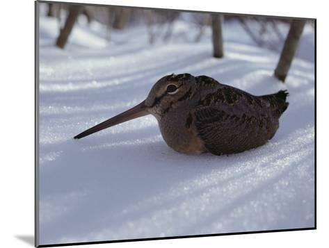 A Woodcock Sits in the Snow--Mounted Photographic Print