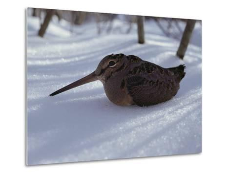 A Woodcock Sits in the Snow--Metal Print