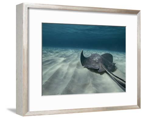 A Southern Stingray Swims Near the Ocean Bed-Bill Curtsinger-Framed Art Print