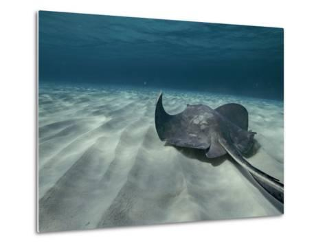 A Southern Stingray Swims Near the Ocean Bed-Bill Curtsinger-Metal Print