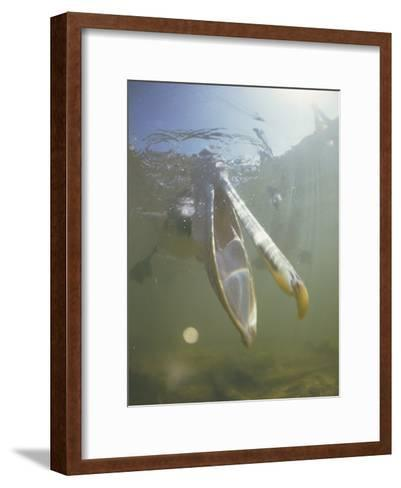 Underwater View of a Brown Pelican Fishing for Food-Bill Curtsinger-Framed Art Print