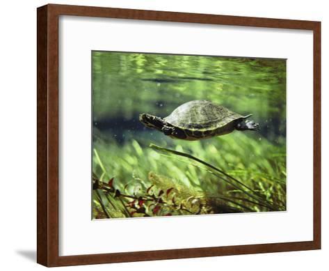A Freshwater Turtle Swimming Underwater-Bill Curtsinger-Framed Art Print