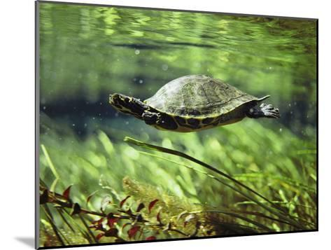A Freshwater Turtle Swimming Underwater-Bill Curtsinger-Mounted Photographic Print