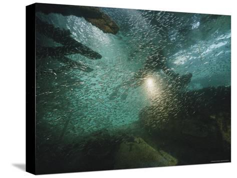 A School of Fish in an Old Wreck-Bill Curtsinger-Stretched Canvas Print