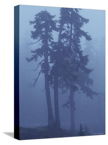 Trees in the Fog-David Boyer-Stretched Canvas Print