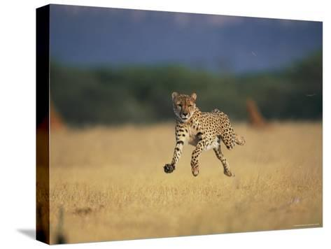 An African Cheetah Caught with All Feet off the Ground in Mid-Sprint-Chris Johns-Stretched Canvas Print