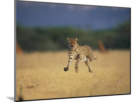 An African Cheetah Caught with All Feet off the Ground in Mid-Sprint-Chris Johns-Mounted Photographic Print