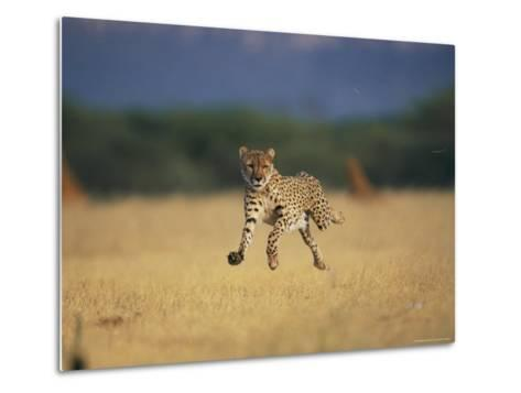 An African Cheetah Caught with All Feet off the Ground in Mid-Sprint-Chris Johns-Metal Print