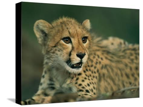 A Close View of a Juvenile African Cheetah-Chris Johns-Stretched Canvas Print