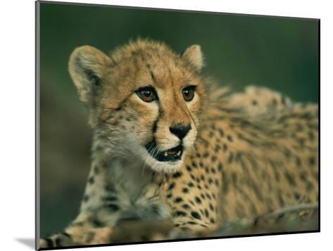 A Close View of a Juvenile African Cheetah-Chris Johns-Mounted Photographic Print
