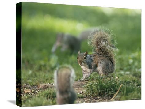 Two Eastern Gray Squirrels Confront One Another--Stretched Canvas Print