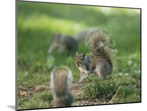 Two Eastern Gray Squirrels Confront One Another--Mounted Photographic Print