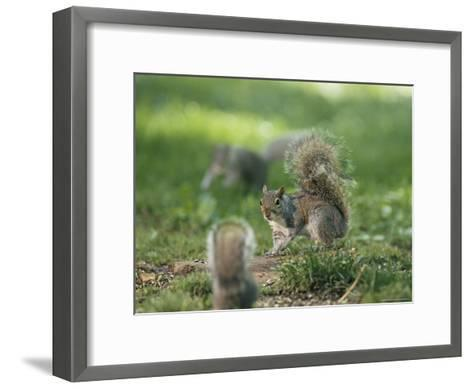 Two Eastern Gray Squirrels Confront One Another--Framed Art Print