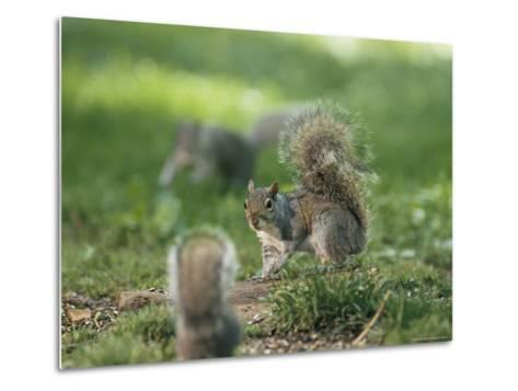 Two Eastern Gray Squirrels Confront One Another--Metal Print