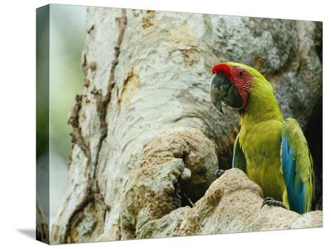 A Macaw Sits in a Tree-Steve Winter-Stretched Canvas Print