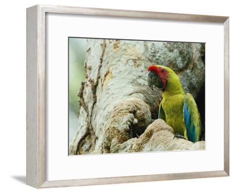A Macaw Sits in a Tree-Steve Winter-Framed Art Print