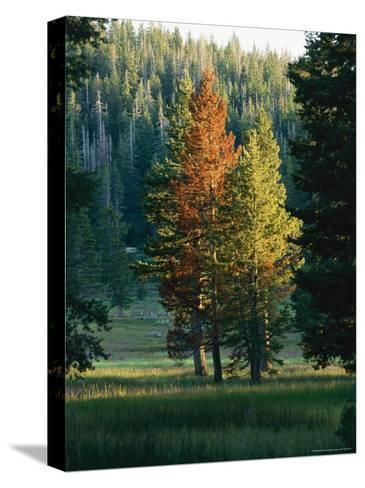 Trees Bearing the Colors of Fall--Stretched Canvas Print