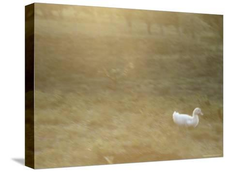 A White Duck Walks in the Grass-Jason Edwards-Stretched Canvas Print