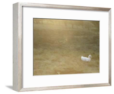 A White Duck Walks in the Grass-Jason Edwards-Framed Art Print