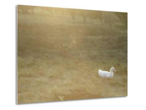 A White Duck Walks in the Grass-Jason Edwards-Metal Print