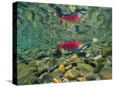 Sockeye Salmon, Also Called Red Salmon, and its Reflection--Stretched Canvas Print