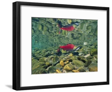 Sockeye Salmon, Also Called Red Salmon, and its Reflection--Framed Art Print