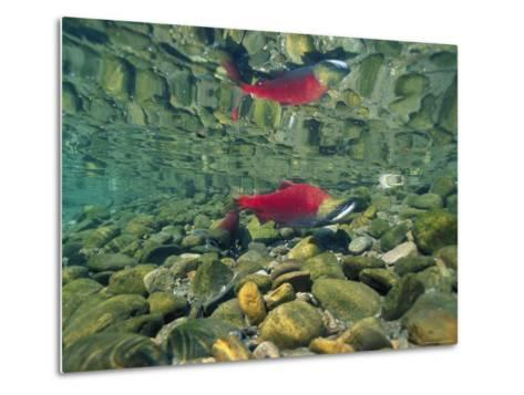 Sockeye Salmon, Also Called Red Salmon, and its Reflection--Metal Print