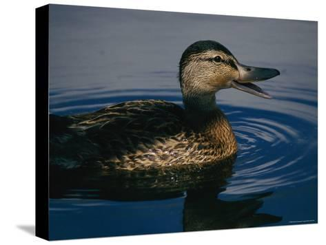 A Duck Swims in the Marshes of the Meadowlands-Melissa Farlow-Stretched Canvas Print