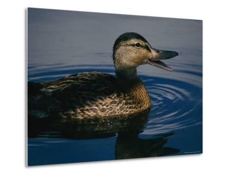 A Duck Swims in the Marshes of the Meadowlands-Melissa Farlow-Metal Print