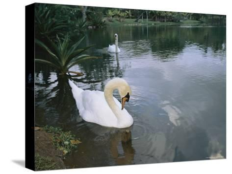 Swans Float in the Water-Roy Toft-Stretched Canvas Print