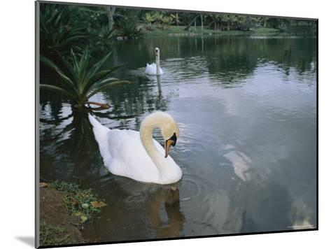 Swans Float in the Water-Roy Toft-Mounted Photographic Print