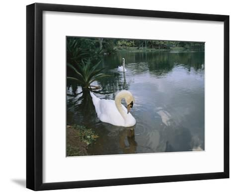 Swans Float in the Water-Roy Toft-Framed Art Print