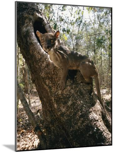 A Fossa Stands on a Tree Trunk-Roy Toft-Mounted Photographic Print