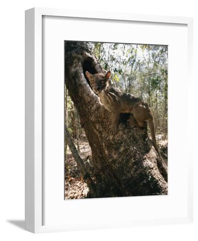 A Fossa Stands on a Tree Trunk-Roy Toft-Framed Art Print